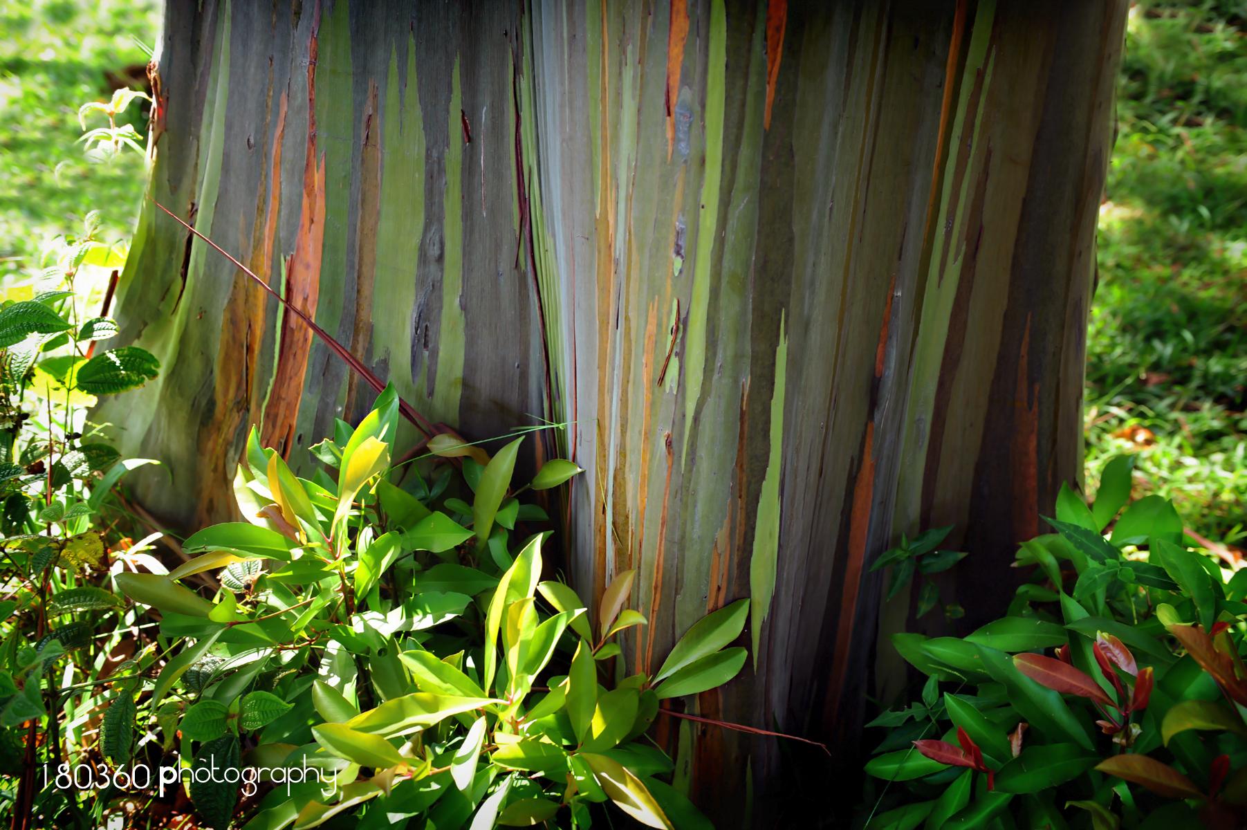 180360MauiRainbowEucalyptus