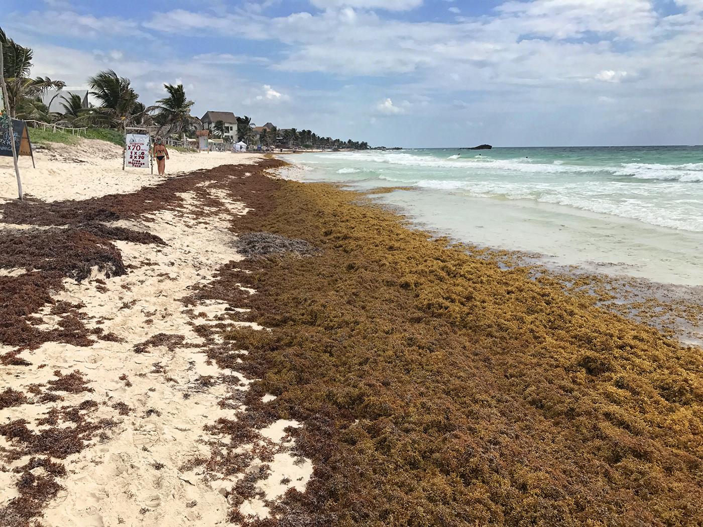 Tulum Seaweed